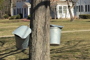 What are those buckets on our campus maple trees?