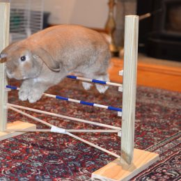 Agility Training your… Pet Rabbit?